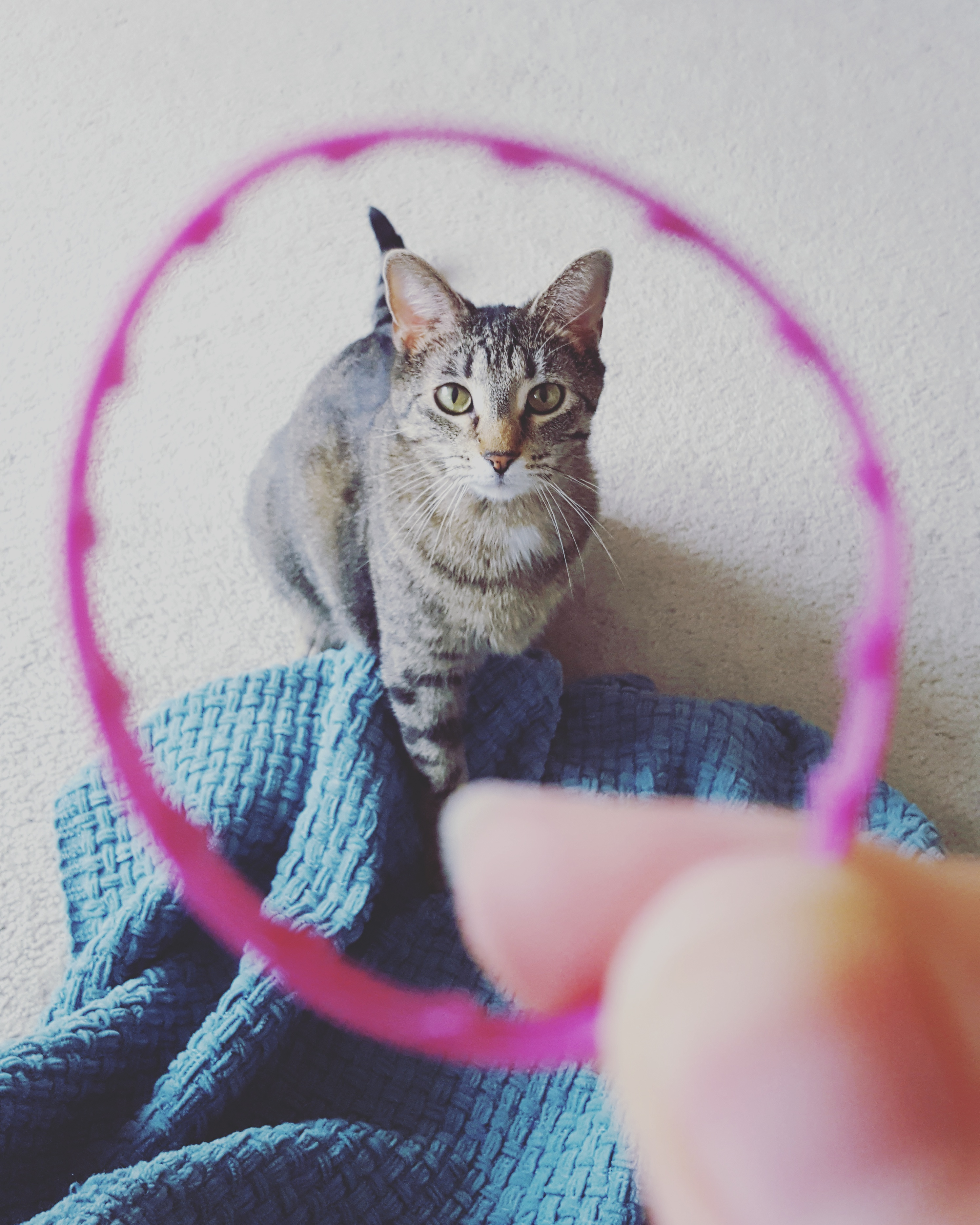 Nox, a black/grey/tan tabby tiger, is seen through an out-of-focus milk ring.